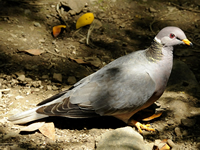 Bandtailed Pigeon