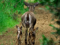 Black Tailed Deer - Doe & Fawns