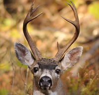 Blacktailed Deer